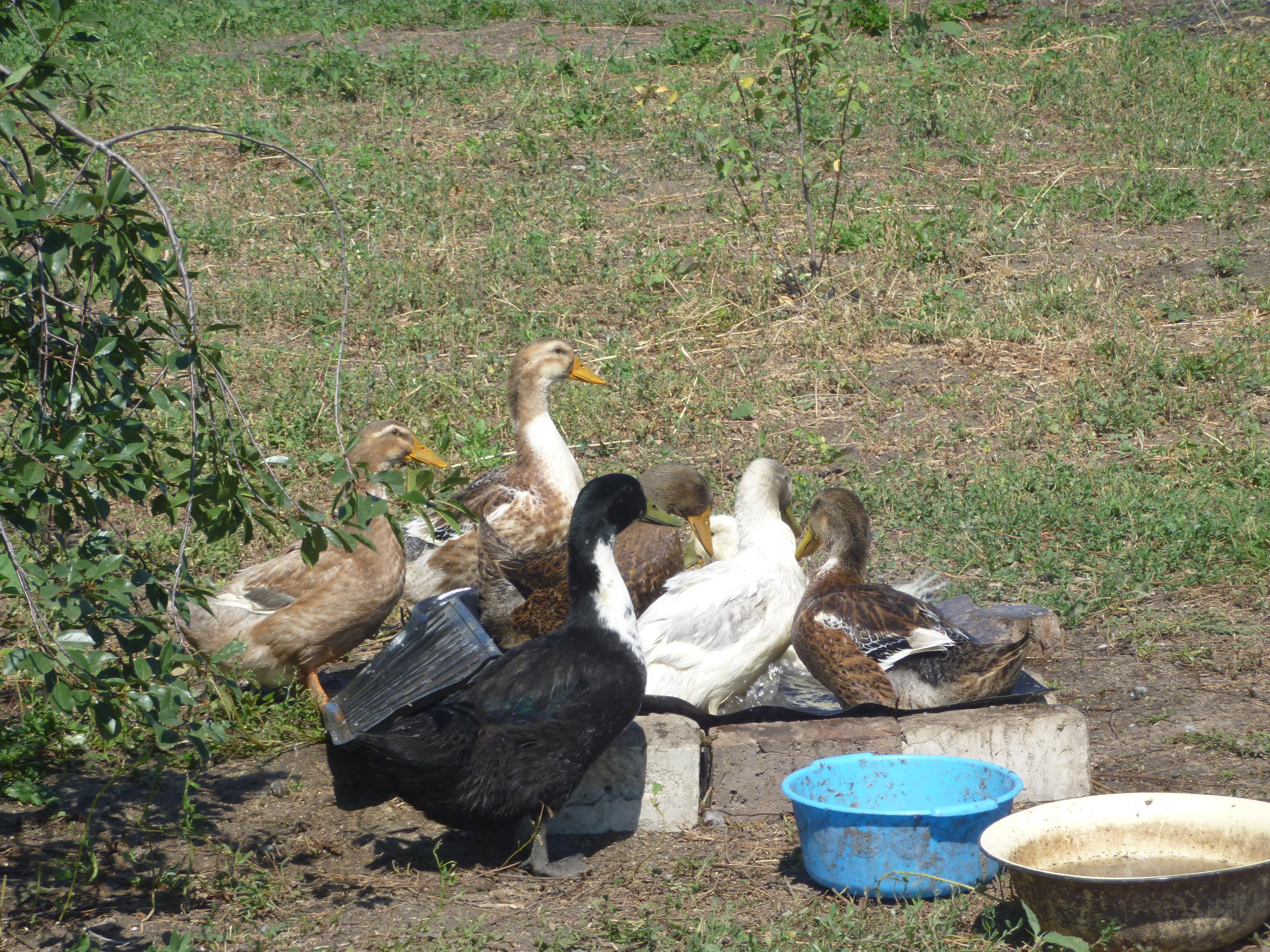 Башкирская утка: описание породы и выращивание
