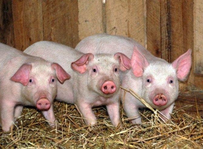 Свиньи породы ландрас: характеристика, фото, отзывы