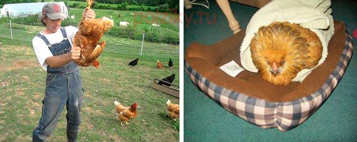 Воспаление зоба у курицы – лечение и методы профилактики - экопроблем