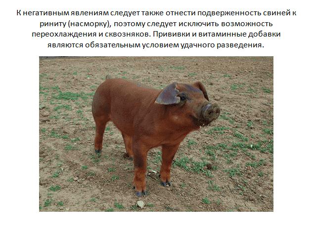 Свиньи породы дюрок: характеристика, описание с фото и отзывами, особенности содержания и разведения