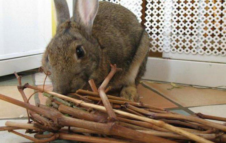 Какие ветки можно давать кроликам: обзор и фото