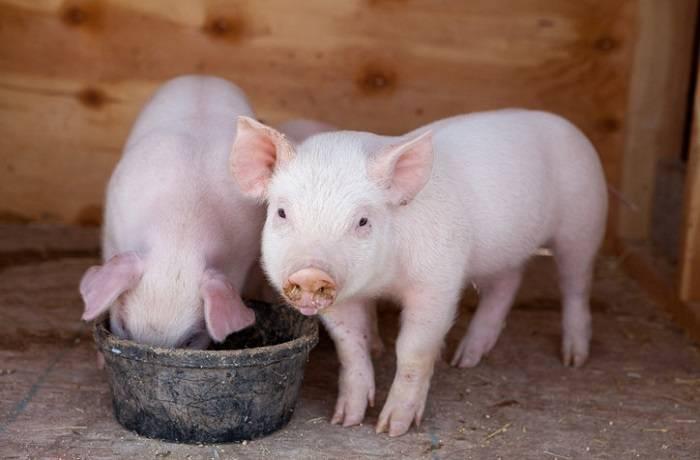 Польза и вред премиксов для свиней, состав смесей, правила использования