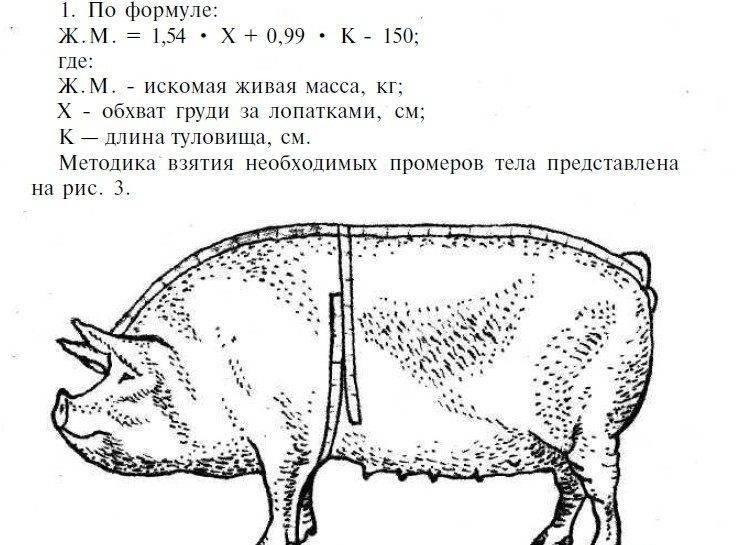 Измерение веса свиней по таблице - ваш огородик