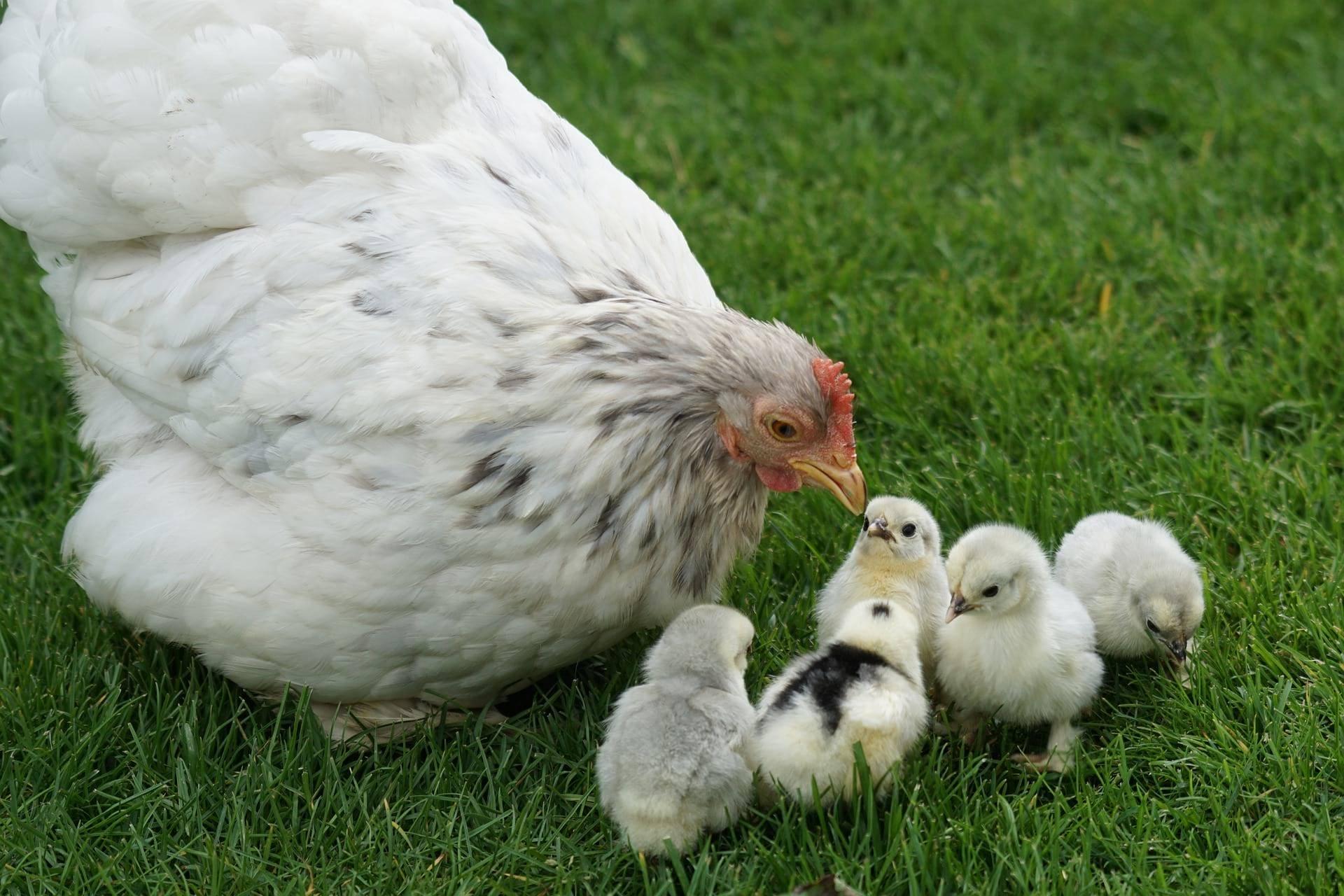 Организовываем выращивание цыплят с наседкой в домашних условиях