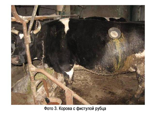 Большой живот у теленка: причины, лечение - растения и огород