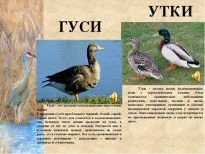 Чем внешне отличаются гуси от уток и как можно определить птиц на прилавке