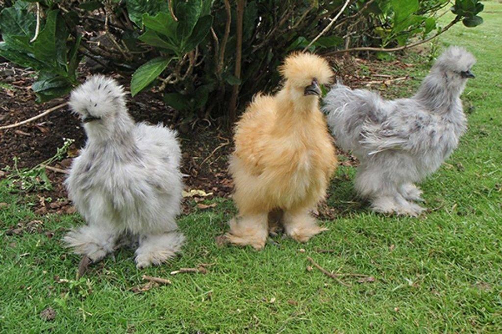 Китайская шелковая курица - стоит ли разводить в домашних условиях