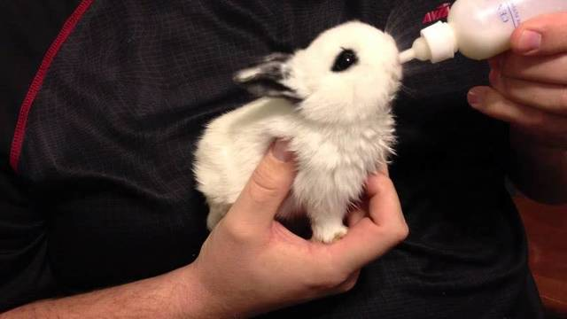 Как выкормить крольчат без крольчихи с первых дней жизни