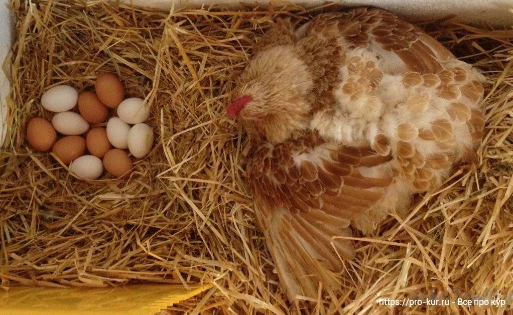 Курица села на яйцо: сколько дней будет высиживать до появления цыплят, что дальше делать?