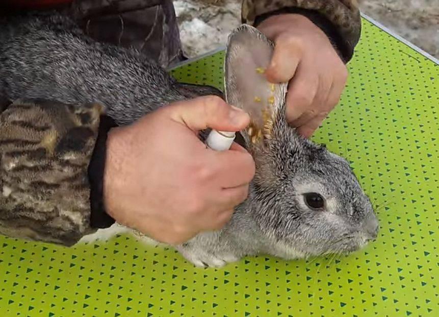 ❶ ушной клещ у кроликов симптомы и лечение в домашних условиях