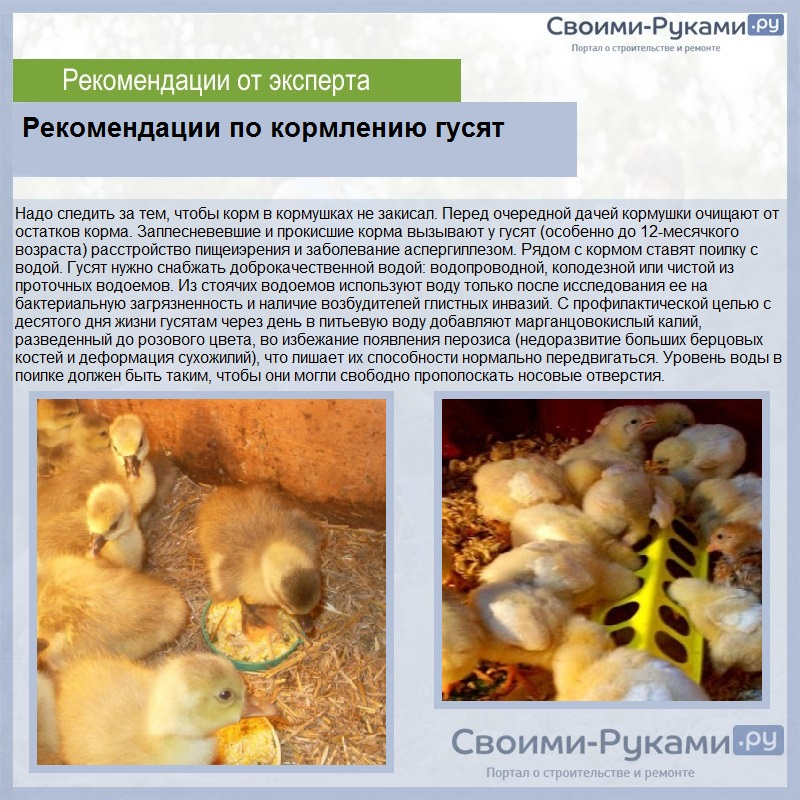 Чем кормить гусят в первые дни в домашних условиях?