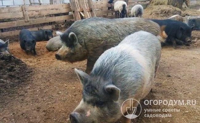 Преимущества и особенности разведения породы свиней кармалы, достоинства породы