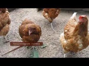 Птичья диарея — как избавить курицу от поноса