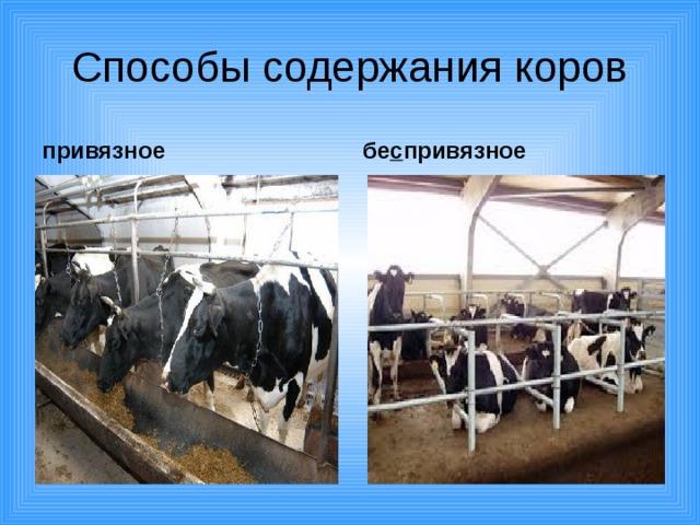 Разведение коров: особенности и актуальные проблемы — cельхозпортал