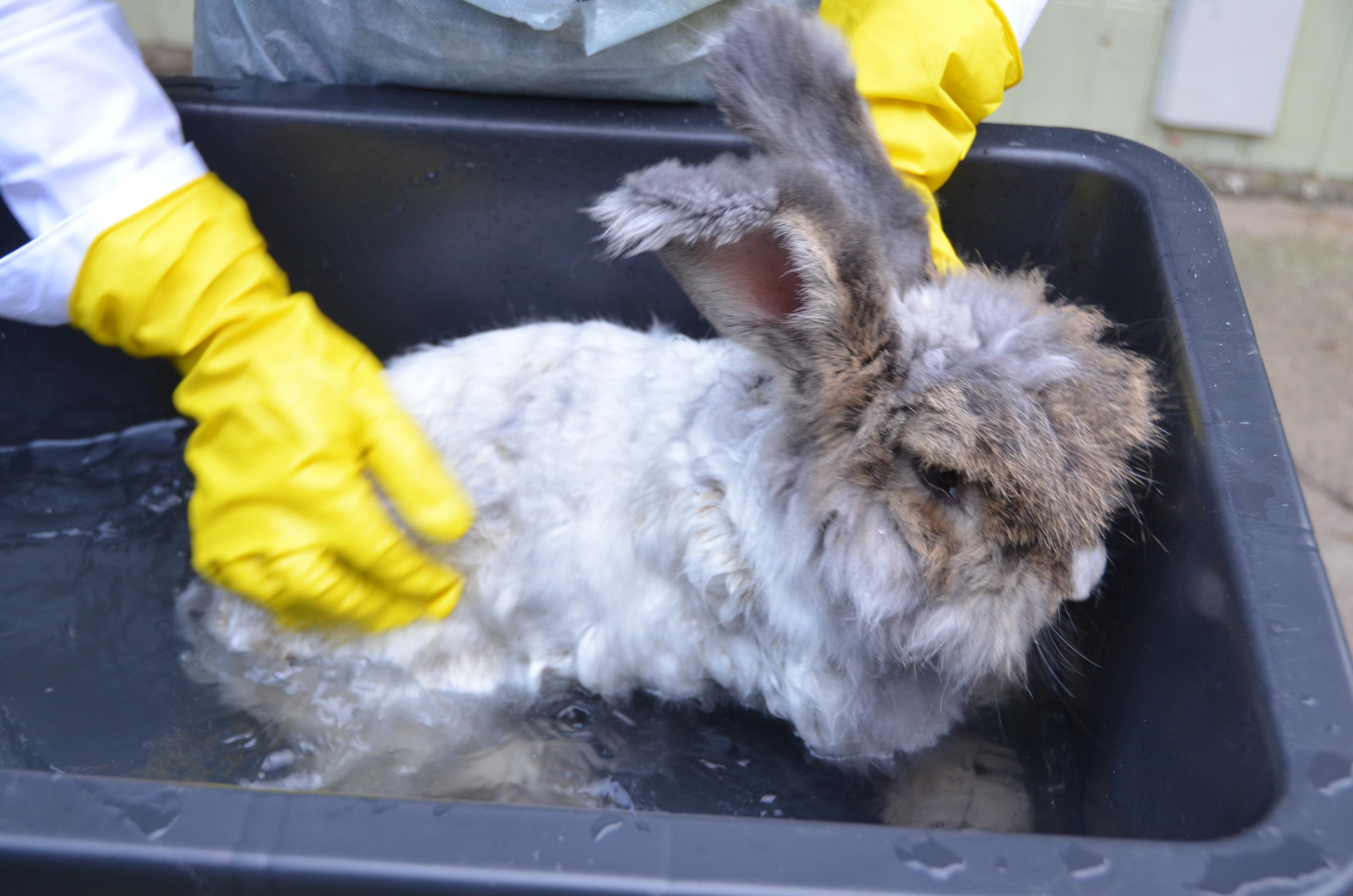 Можно ли мыть декоративных кроликов, как купать их в домашних условиях