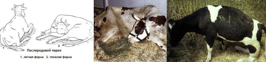 Что такое яловая корова (какие могут быть причины яловости, какие принять меры)