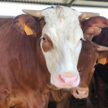 Породы крупного рогатого скота (крс) | fermer.ru - фермер.ру - главный фермерский портал - все о бизнесе в сельском хозяйстве. форум фермеров.