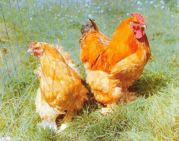 Кохинхин: порода кур, описание - подобная информация о разведении и содержании!