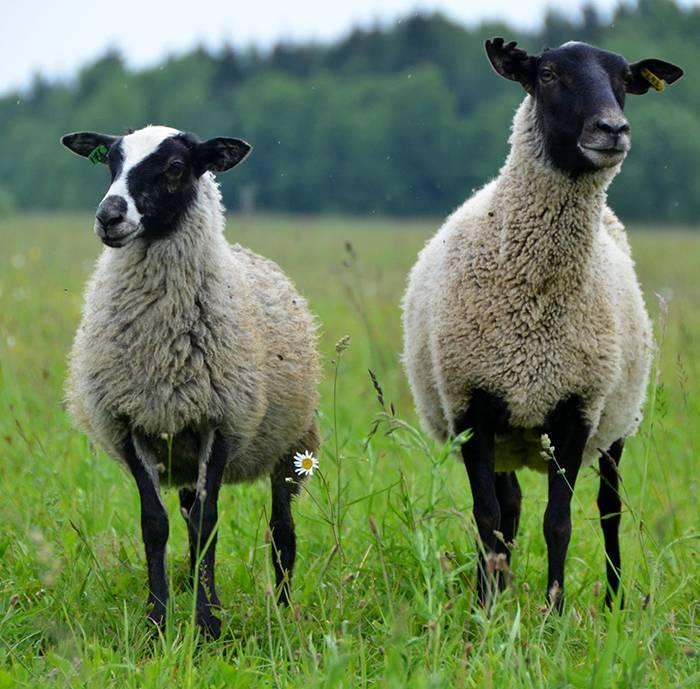 Овцы мясных пород: описание и характеристики продуктивности