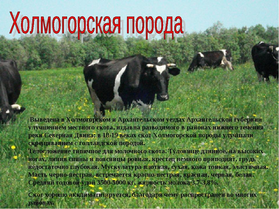 Холмогорская порода коров: описание, молочная и мясная продуктивность, география распространения