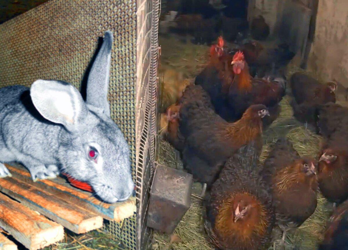 Разбираемся, возможно ли содержать кур и кроликов вместе