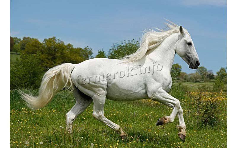 Сокровище испании и королева выездки – андалузская лошадь