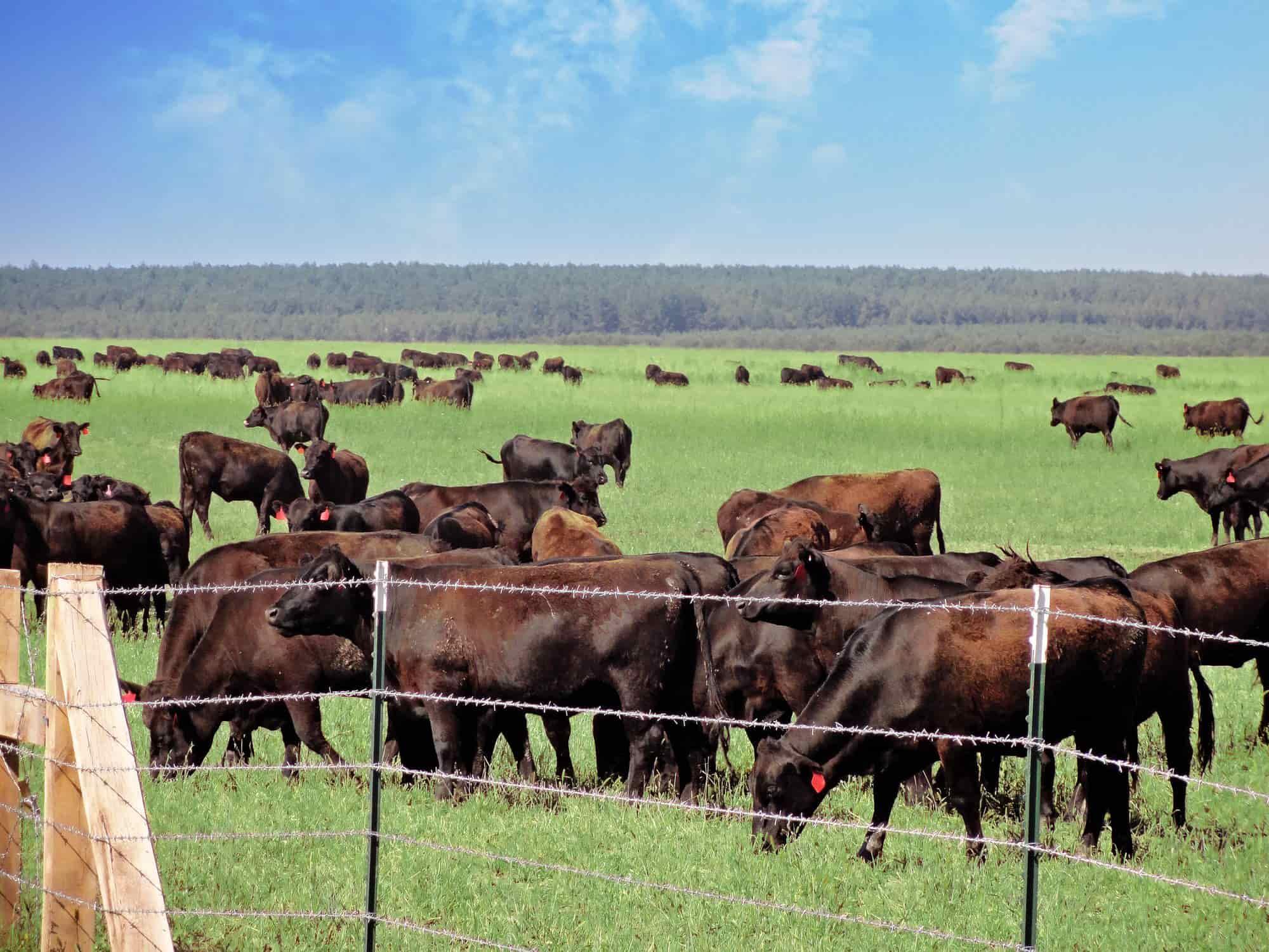 Разведение коров в домашних условиях