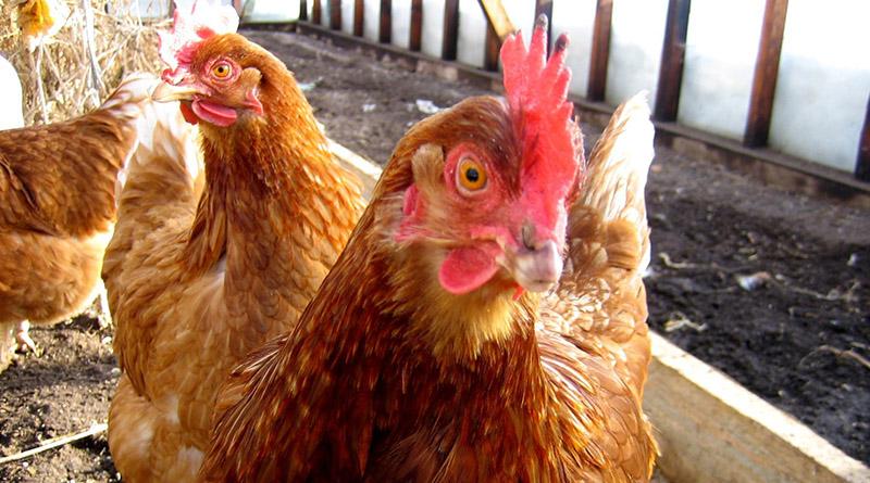 Белый понос у кур: чем лечить?