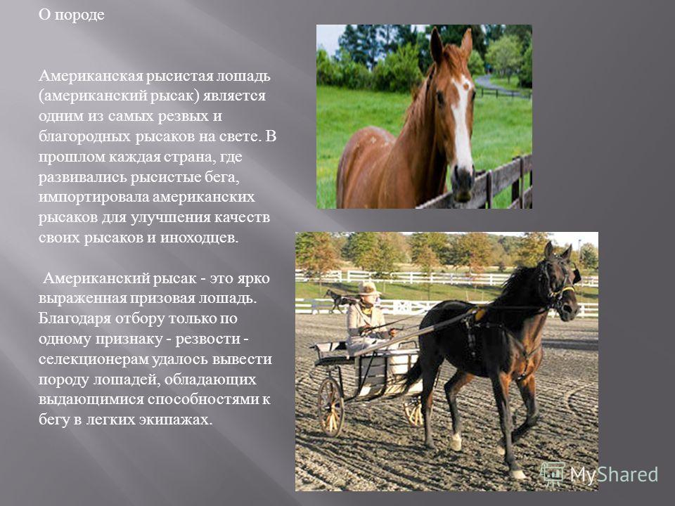 ✅ о русском рысаке: характеристика и особенности лошадей русской рысистой породы - tehnomir32.ru