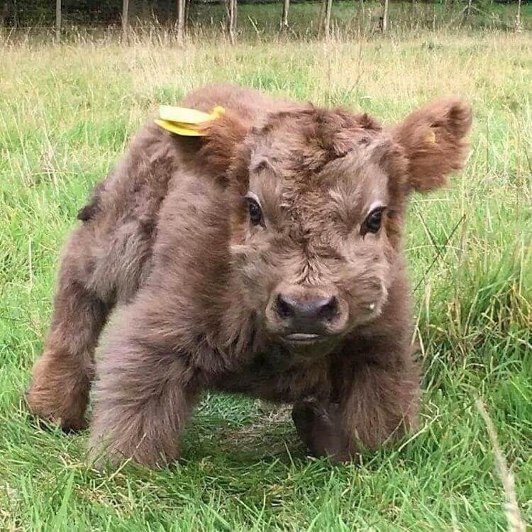Мини-коровы: породы, фото, видео, цена, разведение