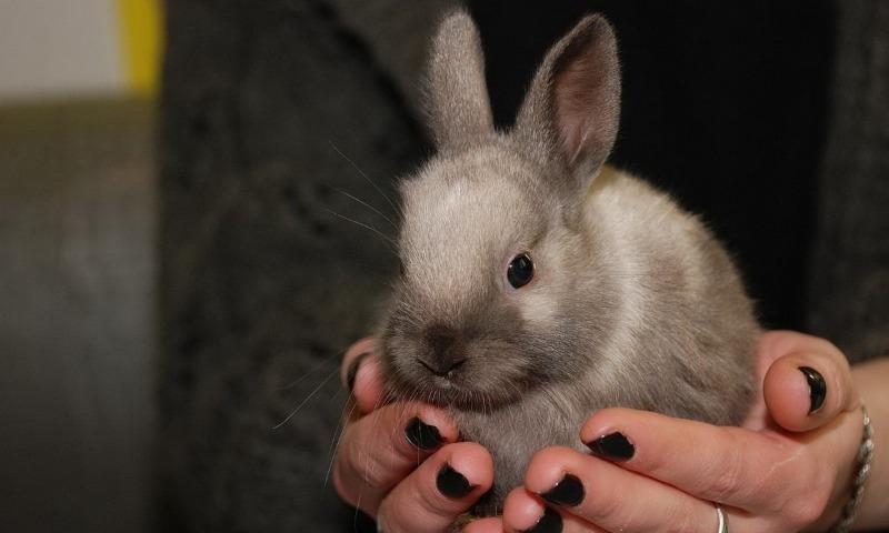 Лисий карликовый кролик - особенности породы, содержание и уход