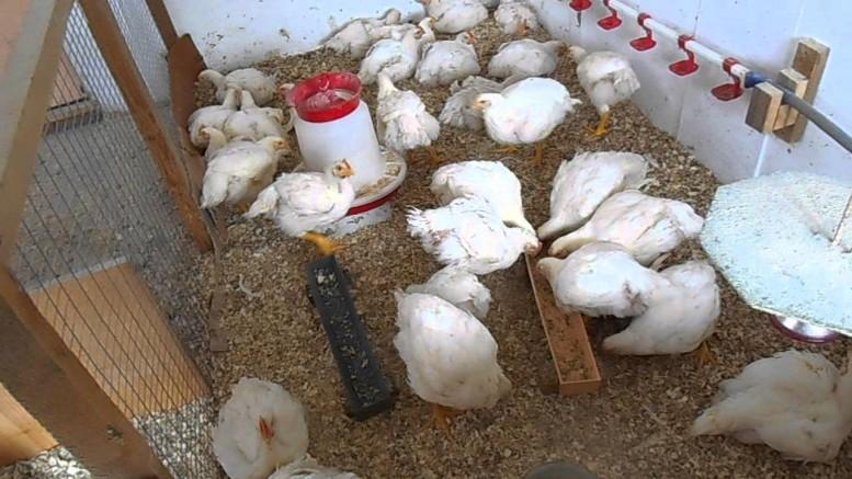 Мастерим кормушку бройлерным цыплятам