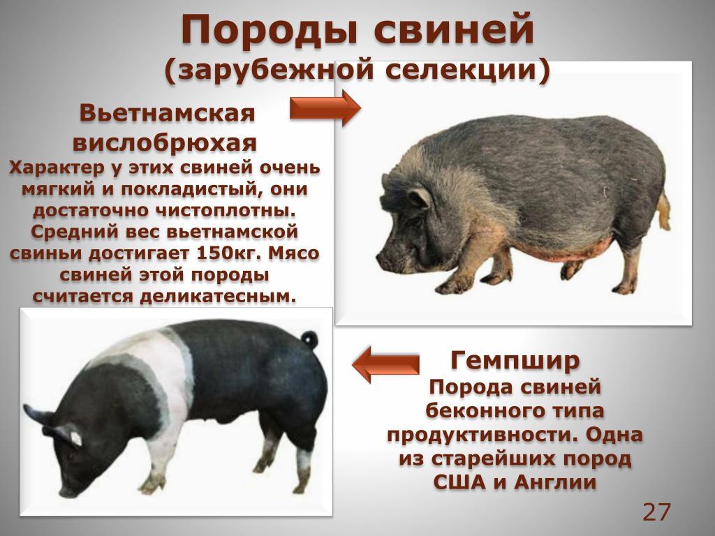 Мясные породы свиней: описание, фото и характеристики пород