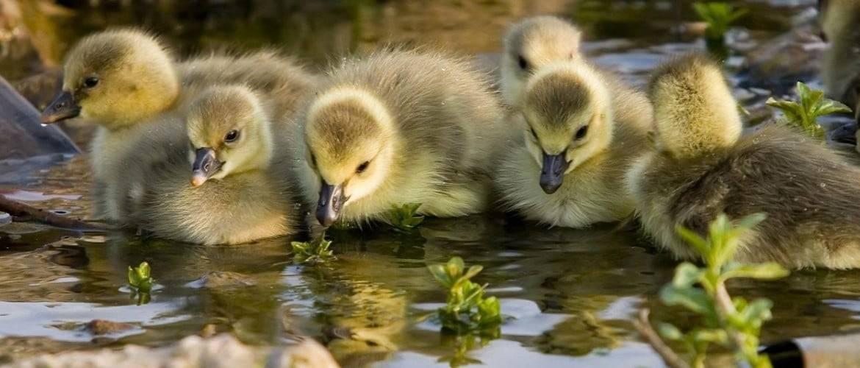 Как живут дикие утки в природе и в неволе