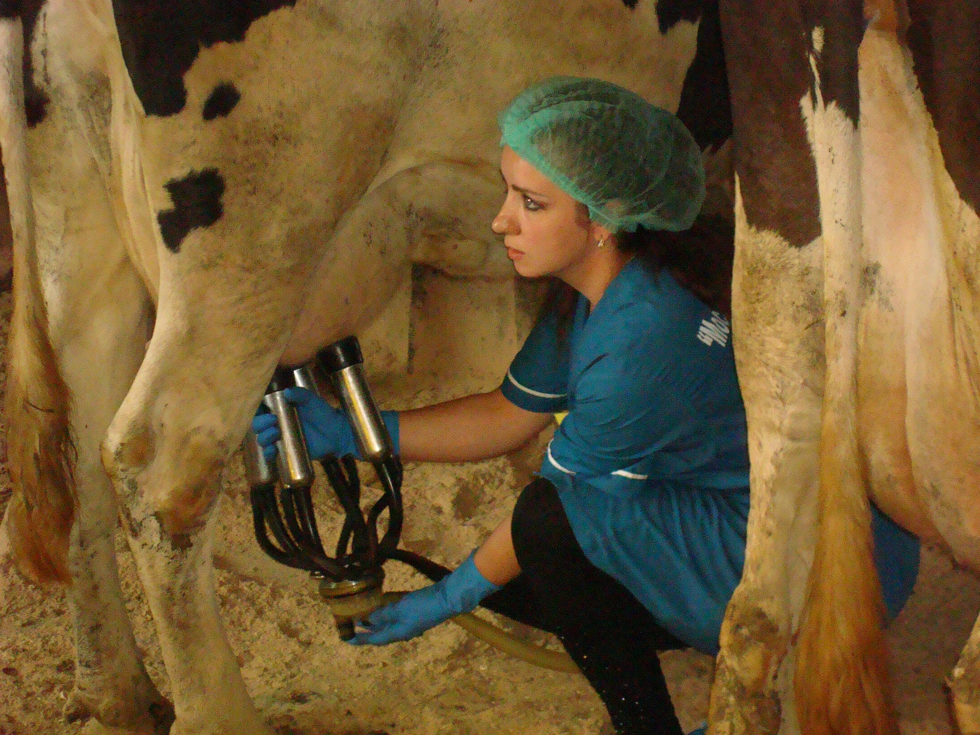 Как доить корову доильным аппаратом - технология и практика, видео обзор