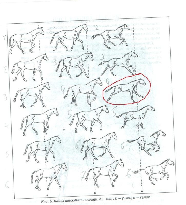 Что это — аллюр: разновидности и краткая характеристика лошадиного бега