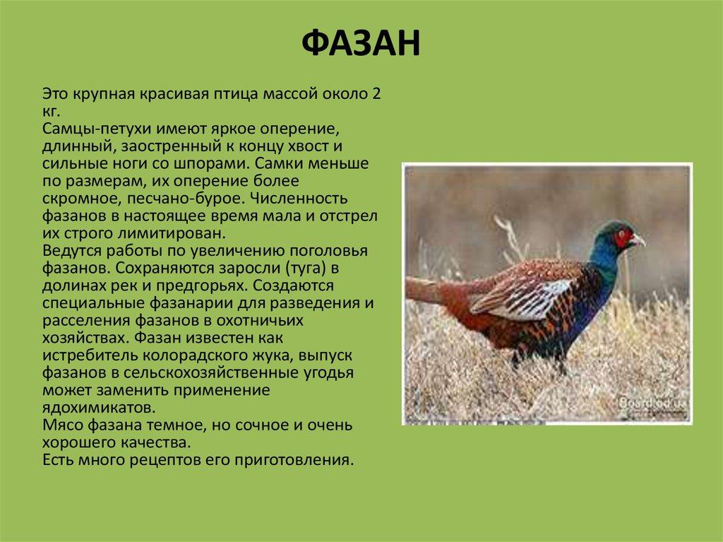 Обыкновенный фазан: разведение в домашних условиях