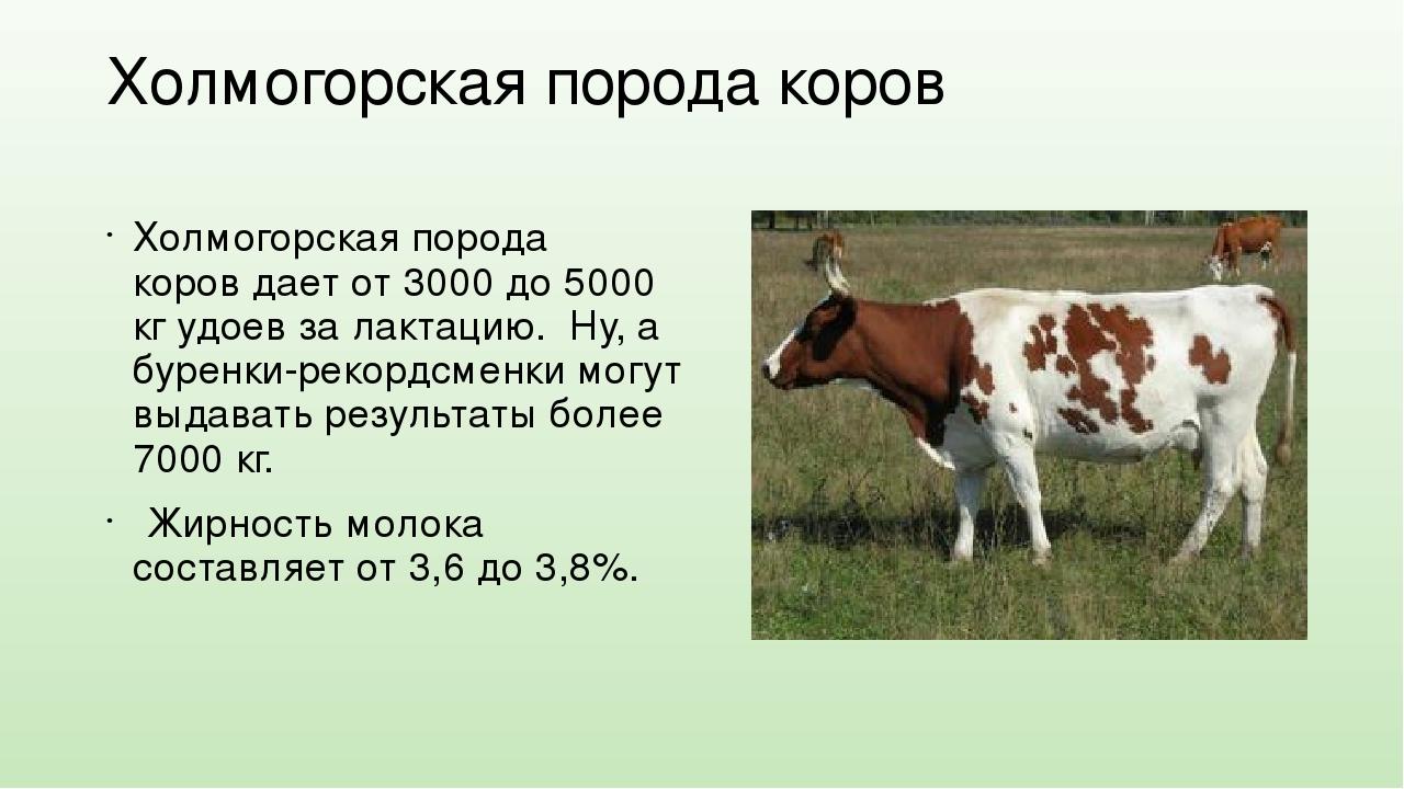 Холмогорская порода коров: характеристика содержание и рациона, фото, отзывы фермеров и описание отела — moloko-chr.ru