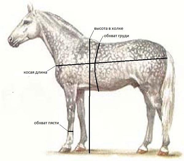Анатомия лошади: строение скелета, черепа и морды, характеристика различных частей тела