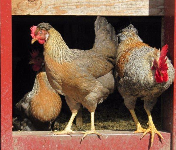 Куры легбар: разноцветные яйца и отличная тушка