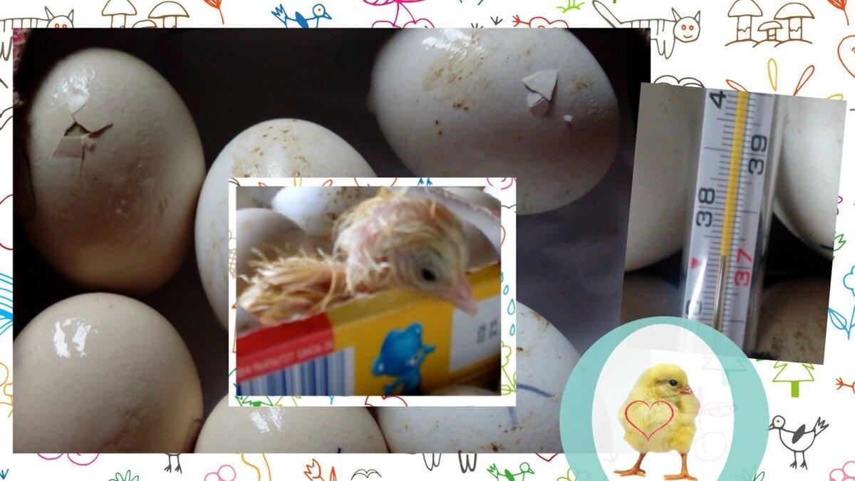 Помогать ли цыплятам вылупляться : секреты успешной инкубации