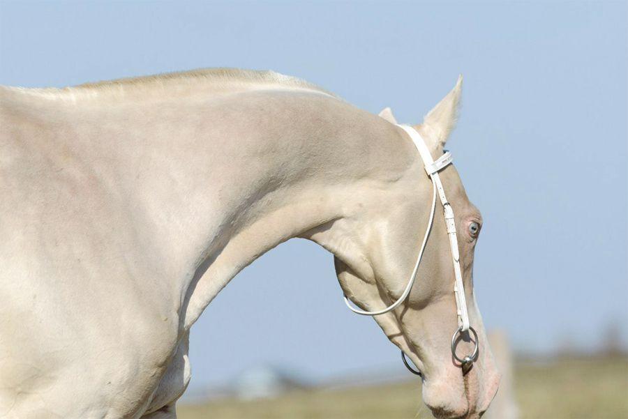Изабелловая масть лошади: породы, история, разведение