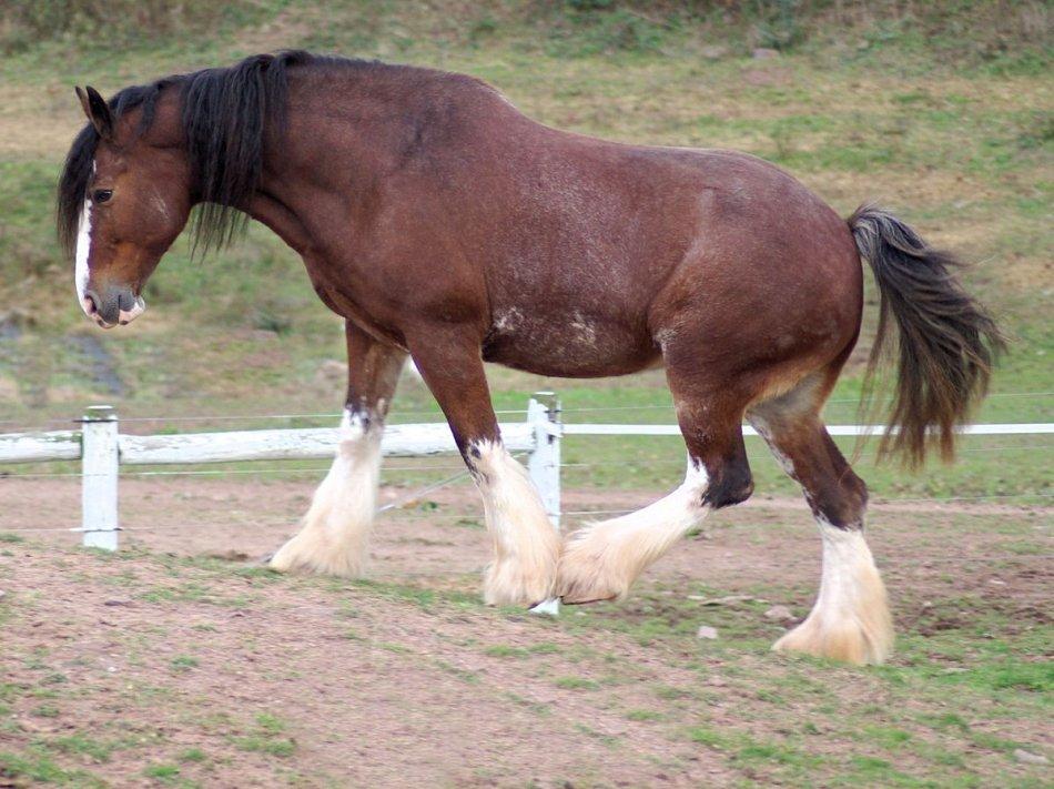 ✅ о лошадях тяжеловозах: известные породы ломовых, тяжелоупряжных лошадей - tehnomir32.ru