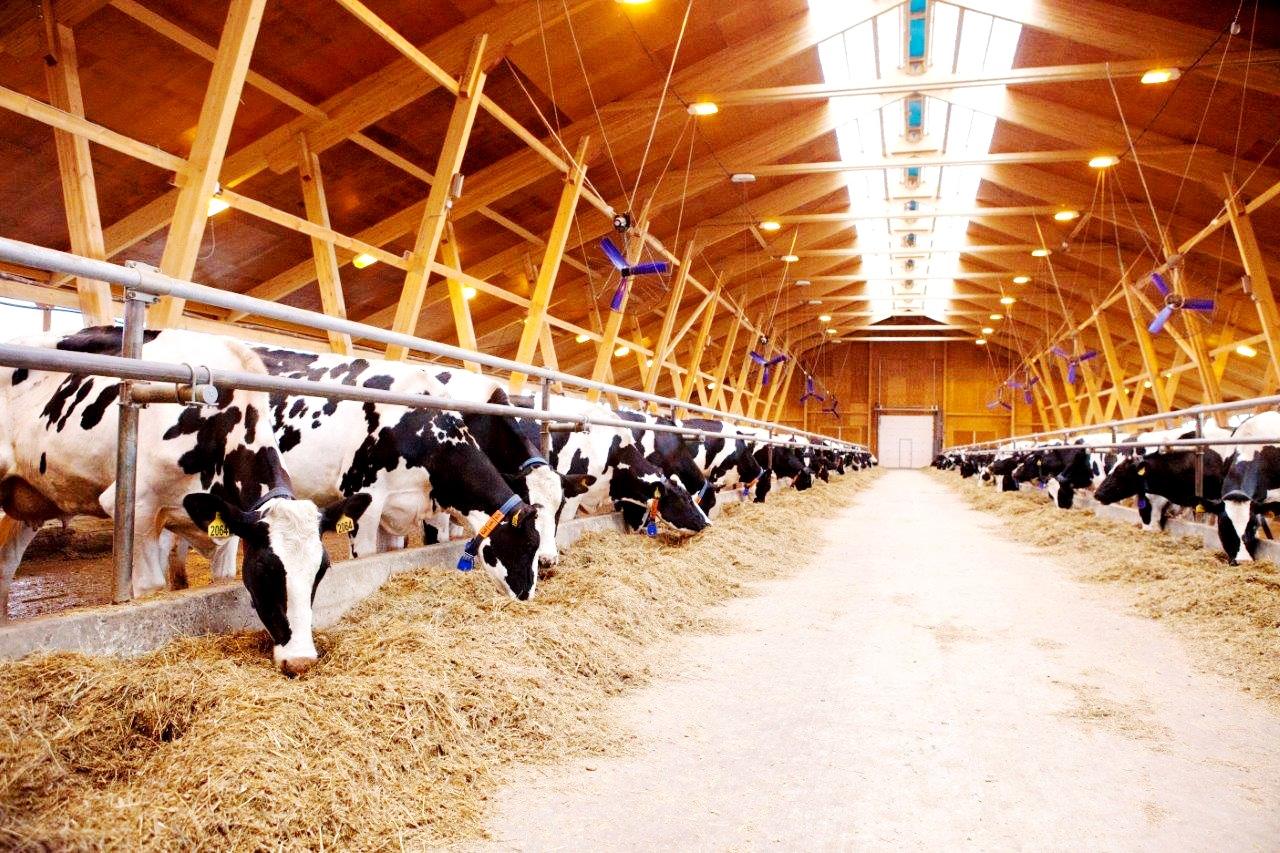 Разведение коров как бизнес: с чего начать и как преуспеть