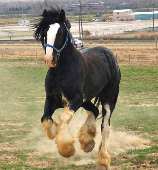 Порода лошадей шайр: описание, характеристики и фото