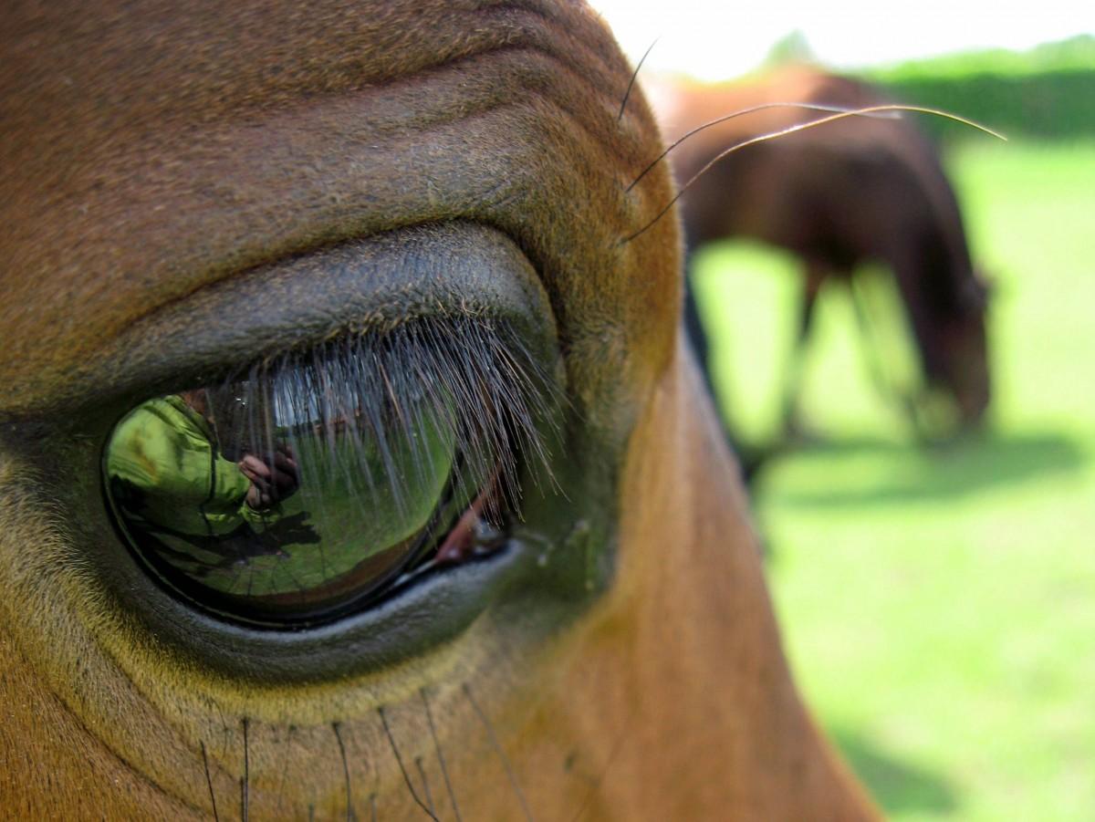 Глазные инфекции и повреждения у лошадей