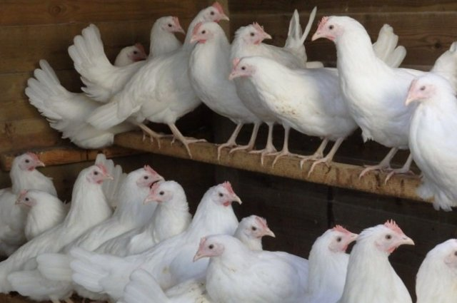 Характеристика русской белой породы кур с фотографиями и отзывами о ней