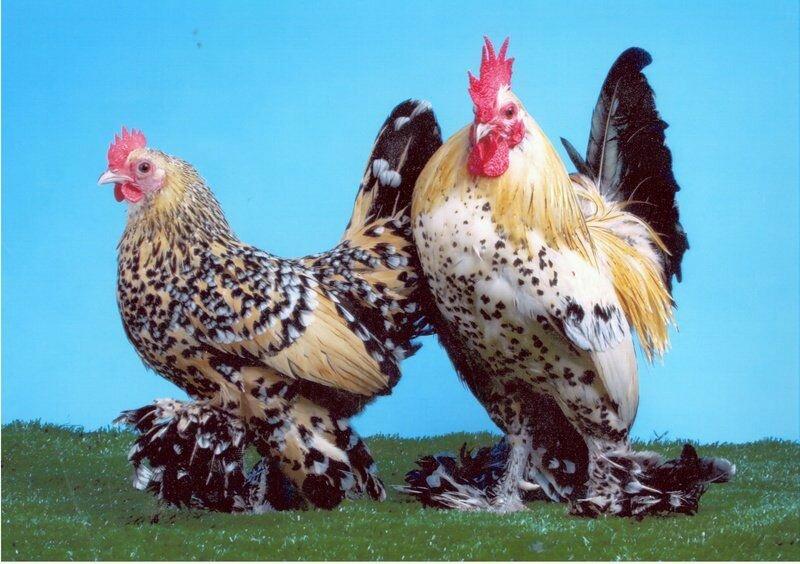 Московская черная порода кур: происхождение, характеристика, уход и размножение