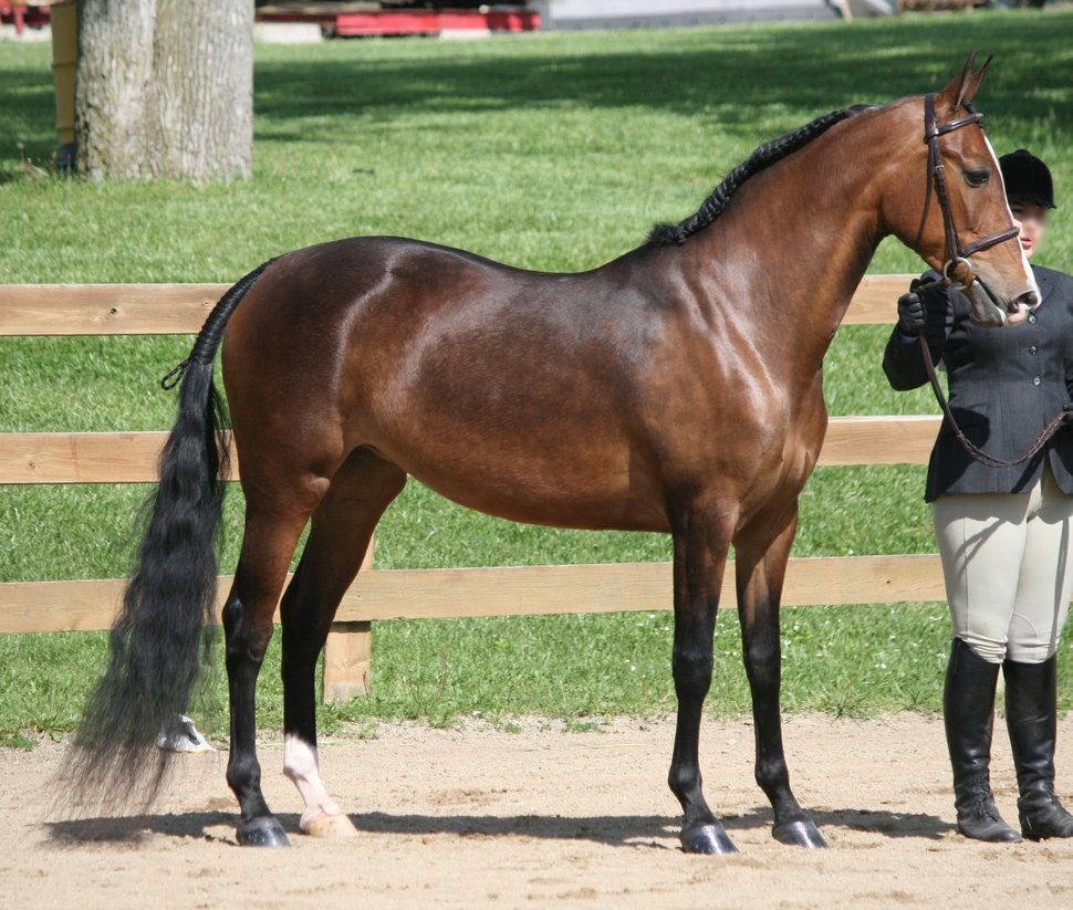 ✅ лошадь английской чистокровной породы: чистокровная верховая лошадь выведена в англии - tehnomir32.ru