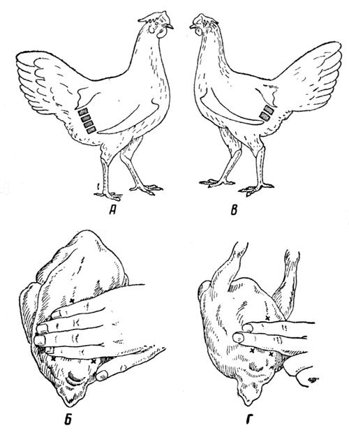 Как определять возраст куриц и несушек, какие существуют методы определения